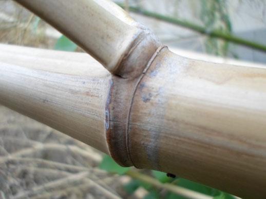 «Chaume de bambou bamboo stalk VAN DEN HENDE ALAIN CC BY SA 40 02453 (2)» par Alain Van den Hende — Travail personnel. Sous licence CC BY-SA 4.0 via Wikimedia Commons - https://commons.wikimedia.org/wiki/File:Chaume_de_bambou_bamboo_stalk_VAN_DEN_HENDE_