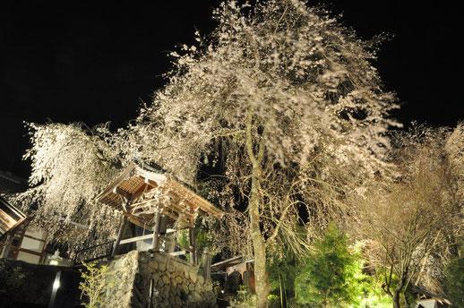 4月16日より「夜桜」が鑑賞できます