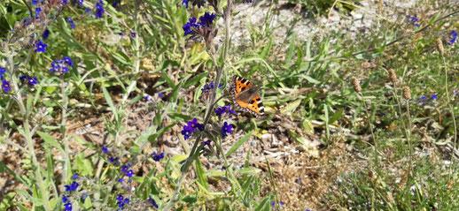 Blumen und Schmetterlinge am Bessin, Hiddensee
