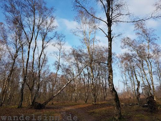 Birken in den Maasduinen