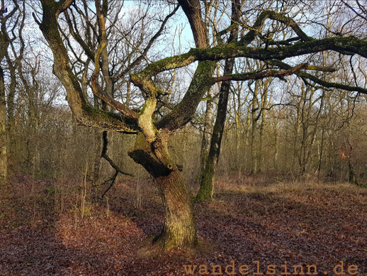 Bäume in den Maasduinen
