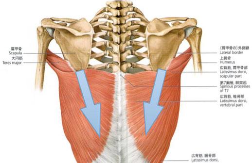 肩甲骨下側の筋肉が肩甲骨を引き下げる