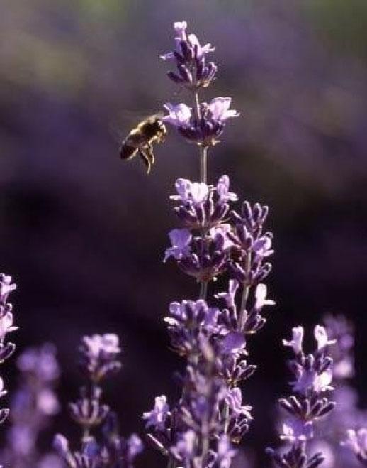 abeille butine lavande