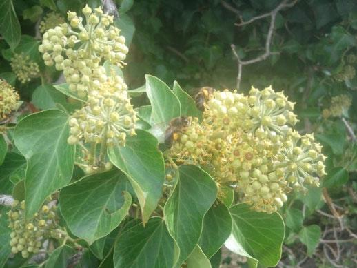 abeille butine lierre