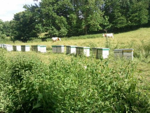 récolte miel acacia