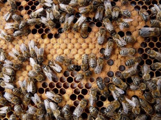 couvain d'abeille