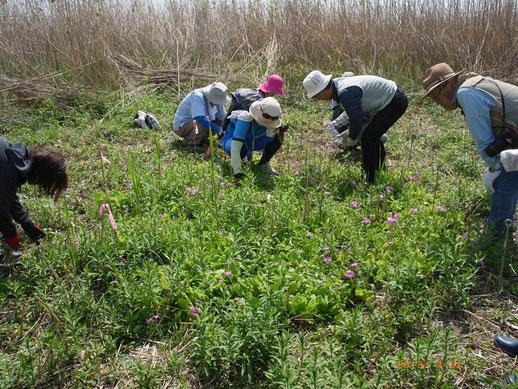 渡良瀬遊水地の桜草自生地での外来種除去作業