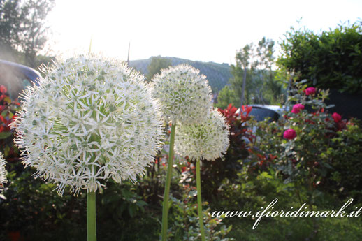Allium, flowers, garden