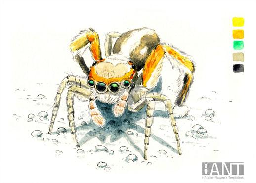 Saitis barbipes, araignée sauteuse, illustration naturaliste, aquarelle, pédagogie, pédagogique, panneau, sensibilisation, éco-interprétation