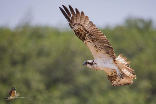Balbuzard pêcheur, oiseau, Sénégal, Afrique, safari, stage photo animalière, Jean-Michel Lecat, photo non libre de droits
