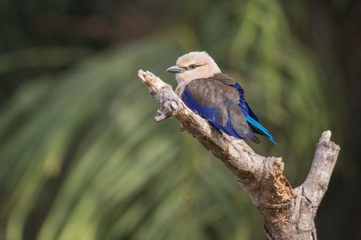 Rollier à ventre bleu, oiseau, Sénégal, Afrique, safari, stage photo animalière, Jean-Michel Lecat, photo non libre de droits