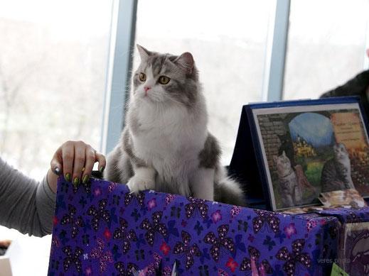 Кошка хайленд-страйт, голубая серебристая мраморная с белым, highland straight female