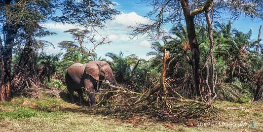 Elefantenbulle im Amboseli National Park, Kenia. Geschossen mit einer Minox 35, auf Kodakchrome 64, 1982. Wir waren sehr nah dran!