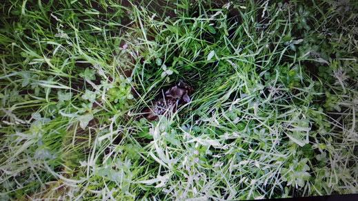 Bambi liegt gut versteckt im hohen Gras