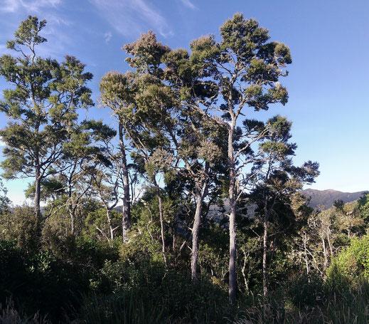 Arbre Kanuka de Nouvelle-Zélande