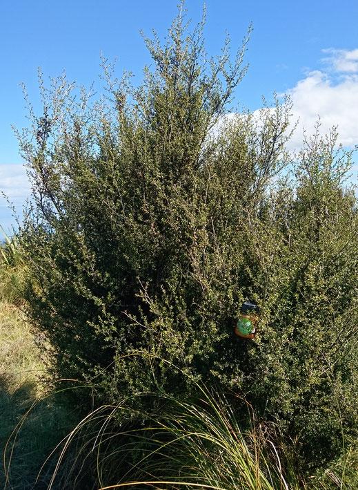 Manuka (sous sa forme buisson), Powder Hill Nouvelle-Zélande