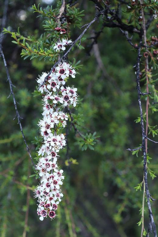 Fleurs de Kanuka Kunzea Ericoïde