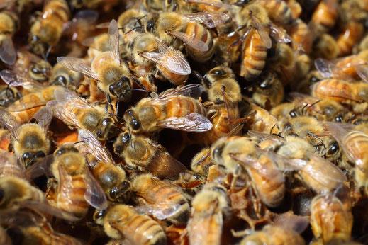Nos abeilles - Puri New Zealand