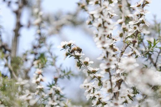 Abeille sur une fleur de Manuka de Nouvelle-Zélande