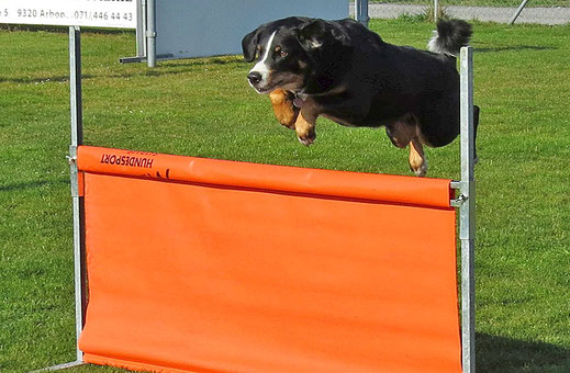 Appenzeller Sennenhund beim Obedience-Sprung