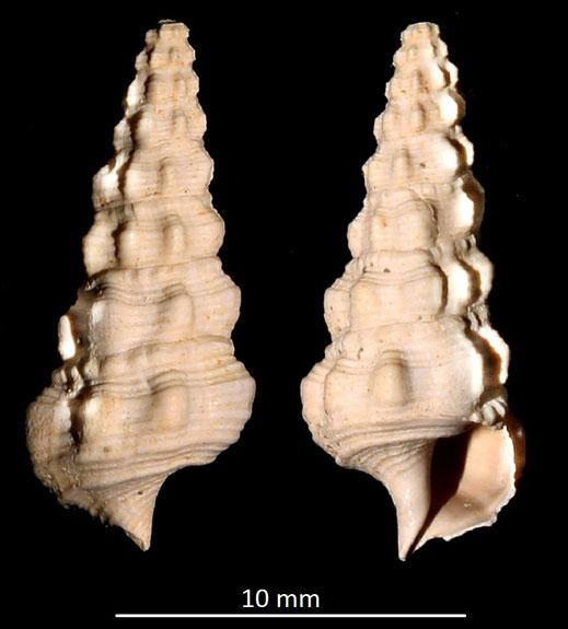 Cerithium cfr. vulgatum, Miocene dell'Aquitania