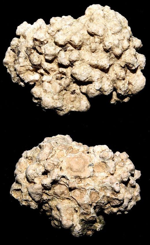 Lithothamnium sp., Macchia della Turchina