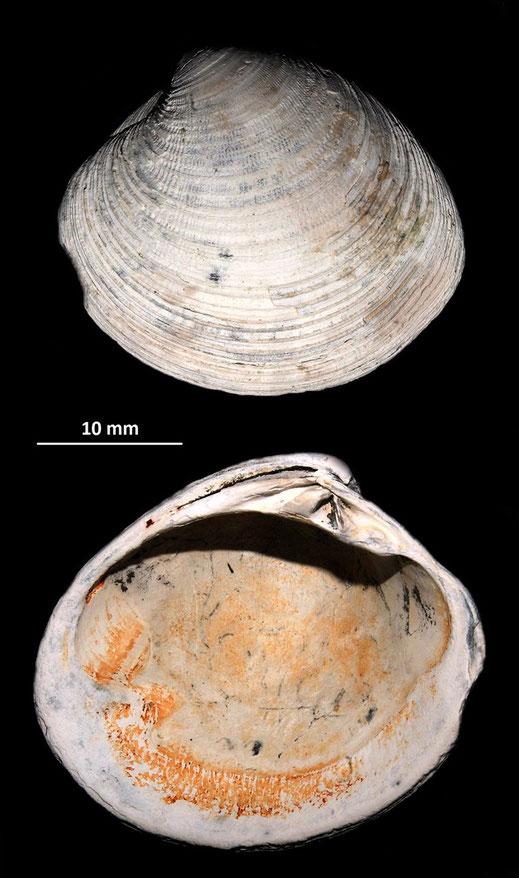 Venus multilamella, Pliocene del torrente Stirone