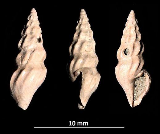Crassopleura sigmoidea? Vignola (MO)