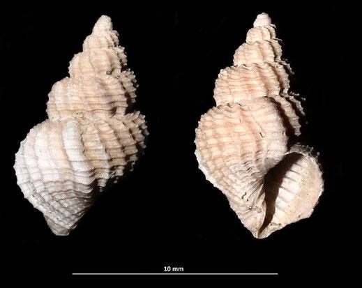 Bonellitia serrata, Vignola (MO)