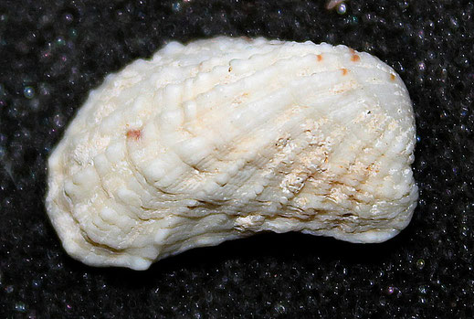 Cardita calyculata, litorale romagnolo