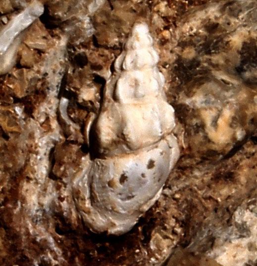 Rissoa cfr. variabilis, Sant'Agostino (Civitavecchia, RM)