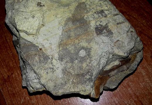 Grosse foglie fossili dei livelli limosi superiori; si nota anche un pezzo di fusto.
