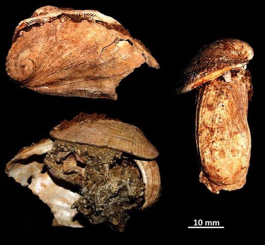 Haliotis tuberculata e Barbatia barbata, Sant'Agostino (Civitavecchia, RM)