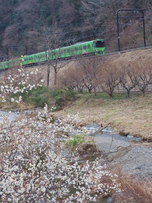 京王線(高尾山車両)と梅
