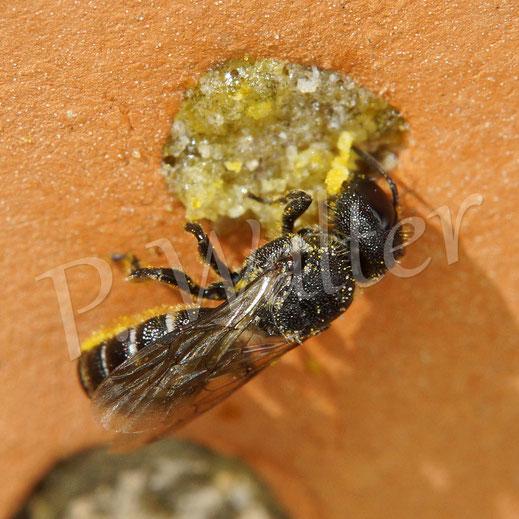 Bild: Löcherbiene, Osmia truncorum, an ihrem typischen NIstverschluss aus Harz
