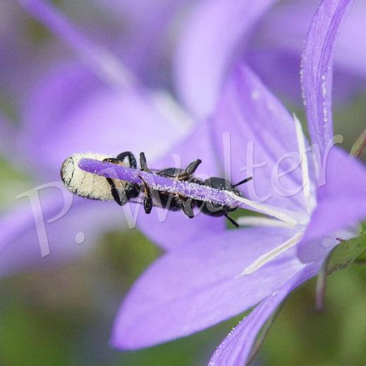 Bild: Glockenblumen-Scherenbiene, Osmia rapuculi, streift Pollen in ihre Bauchbürste, Dalmatiner Glockenblume, Campanula portenschlagiana