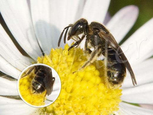 Bild: Furchenbienen- oder Schmalbienenweibchen, Lasioglossum spec.,  am Gänseblümchen