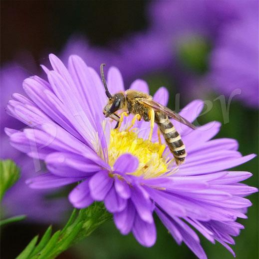 Bild: Gelbbindige Furchenbiene, Halictus scabiosae, Männchen trinkt Nektar an einer Herbstasternblüte