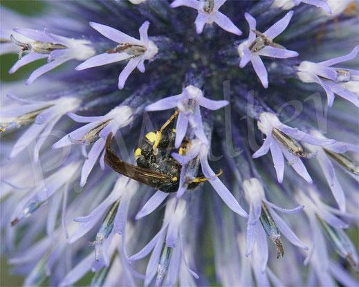 Bild: Bienenjagende Knotenwespe, Cerceris rybyensis, Nektar, an der Blauen Kugeldistel, Echinops spec.