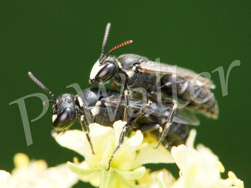 Bild: Pärchen der Reseden-Maskenbiene, Hylaeus signatus, an der Gelben Resede
