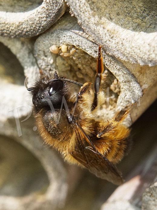 """Bild: ein Weibchen der Rostroten Mauerbiene an ihrem Nistverschluss, sie putzt gerade ihren Fühler und dadurch kann man gut eins der """"beiden Hörner"""" sehen (daher Osmia """"bicornis"""")"""