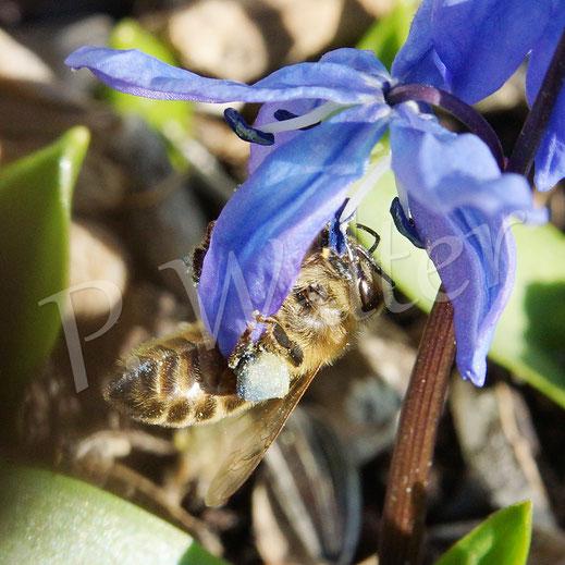Bild: Honigbiene, blaues Pollenpaket, Blausternchen, Scilla sibirica
