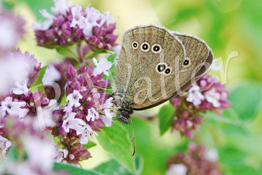 18.07.2014 : einer von vielen Schmetterling am Oregano