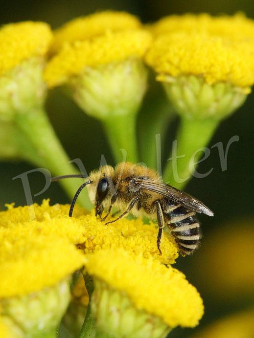 23.07.2019 : ein Seidenbienenmännchen (Rainfarn-Seidenbiene ?) am Rainfarn