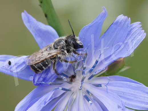 Bild: Punktierte Düsterbiene, Stelis punctulatissima, ist wegen des Regens an einer Wegwartenblüte gestrandet