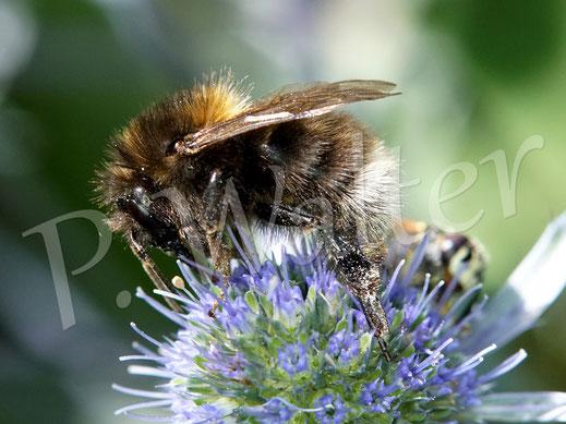 Bild: Hummel an der Kugeldistel, Bienenwolf