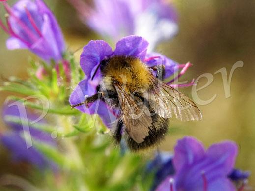 Bild: Hummel am Natternkopf - bereits augenscheinlich verblühte Exemplare blühen von unten heraus aktuell nochmal