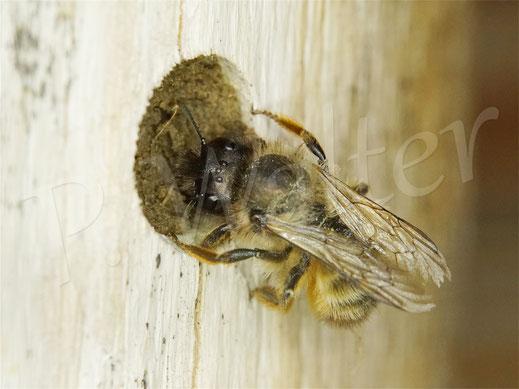 Bild: eins der letzten Weibchen der Rostroten Mauerbiene, Osmia bicornis,  beim Verschließen eines Nistgangs