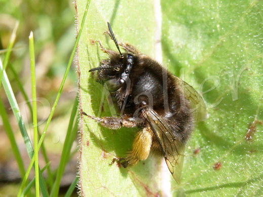 Bild: Frühlings-Pelzbiene, Anthophora plumipes, Weibchen