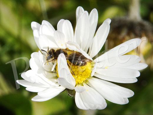 Bild: irgendeine kleine Wildbiene am Gänseblümchen